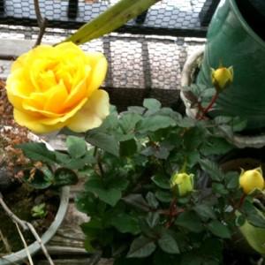 ベランダてバラが咲きました