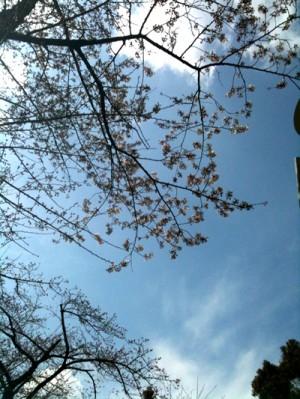 桜がほころび始めました