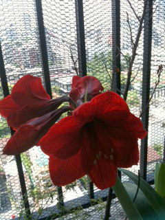 今年もアマリリスが咲き始めました