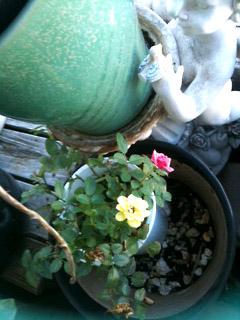 ミニばらも咲きはじめ